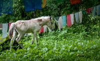 A colt by some prayer flags.