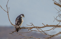 Augur Buzzard checking out the morning life in the crater.