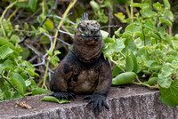 Another view of the marine iguana.