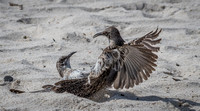 This type of scrapping happens on the beach with the mocking birds all the time.