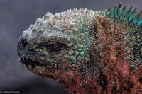 The marine iguanas are very colourful in the southern islands.